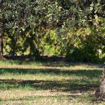 alberi-di-ulivo